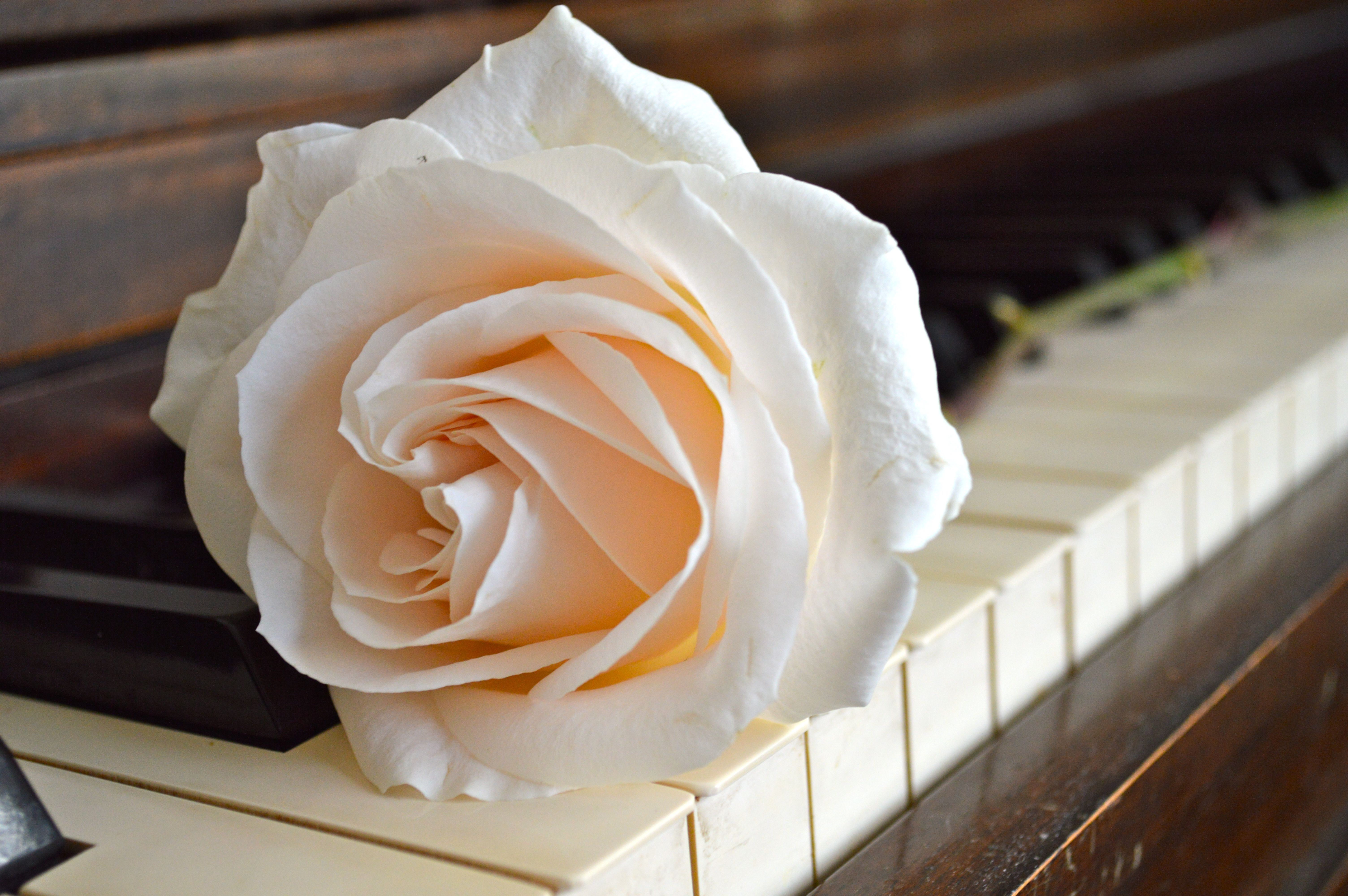 rose on piano | Roses Pianos | Rose, Piano, White roses