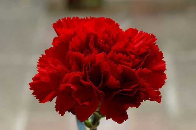 Red Head Red Carnation Carnation Flower Carnation Flower Meaning