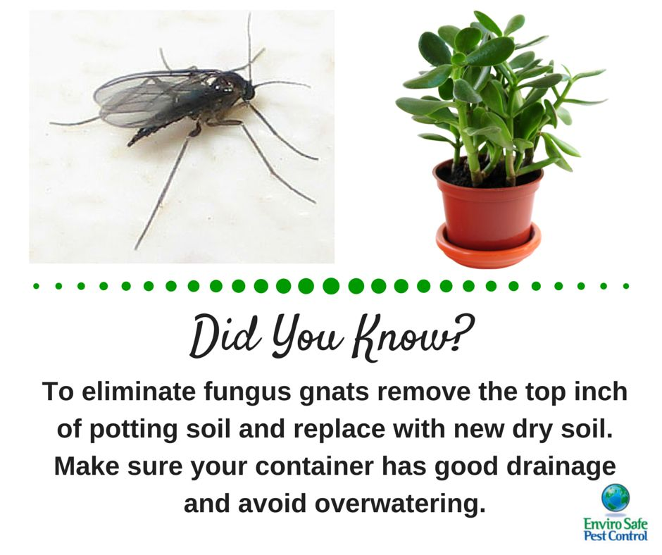 Gnats In Your Plants Though Harmless To Humans Fungus Gnats Can Multiply Rapidly In Indoor Plants Laying Their Larvae In The Top La Plant Fungus Gnats Fungi