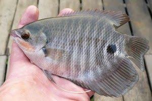 Macam Jenis Ikan Gurame Peternak Super Marga Tiga Fish Pet Pets Fish