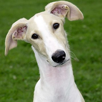 Polish Greyhound Highly Protective Dog Breed Guide Protective Dog Breeds Greyhound Breed Greyhound Puppy