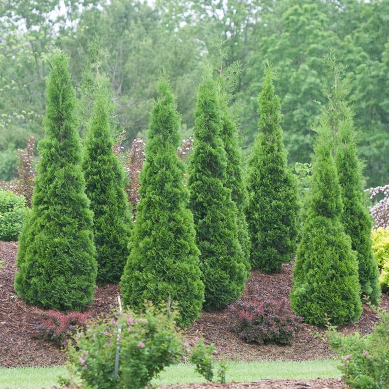 Plant Arborvitae North Pole Arborvitae Landscaping Arborvitae Garden Shrubs