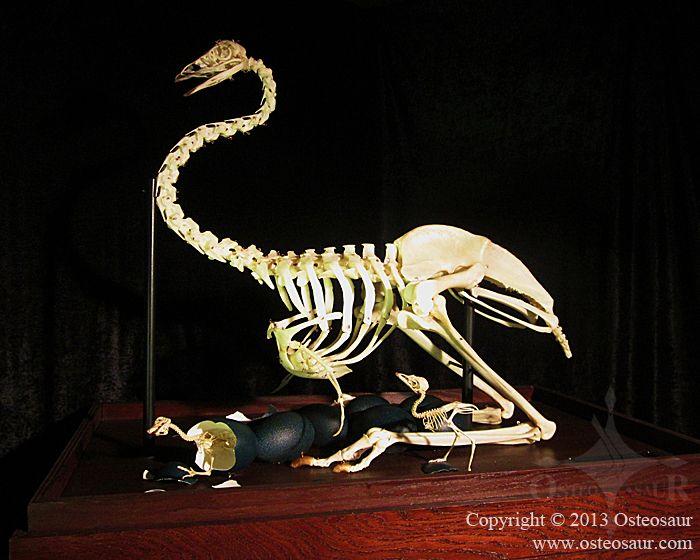 Emu Printout- EnchantedLearning.com |Emu Anatomy