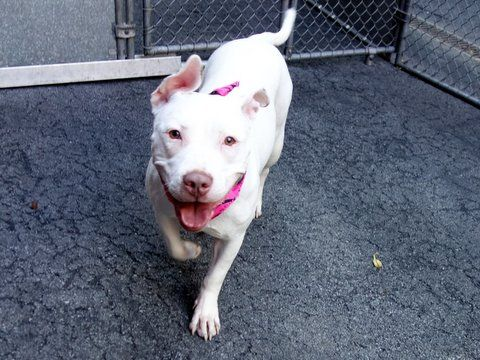 SAFE 6-7-2015 by Amsterdog --- Manhattan Center JOSEY – A1037539  FEMALE, WHITE, PIT BULL MIX, 1 yr STRAY – STRAY WAIT, NO HOLD Reason STRAY Intake Date 05/26/2015 ---deaf but knows hand signals--- osey is calm, gentle and low key…a total snuggle girl