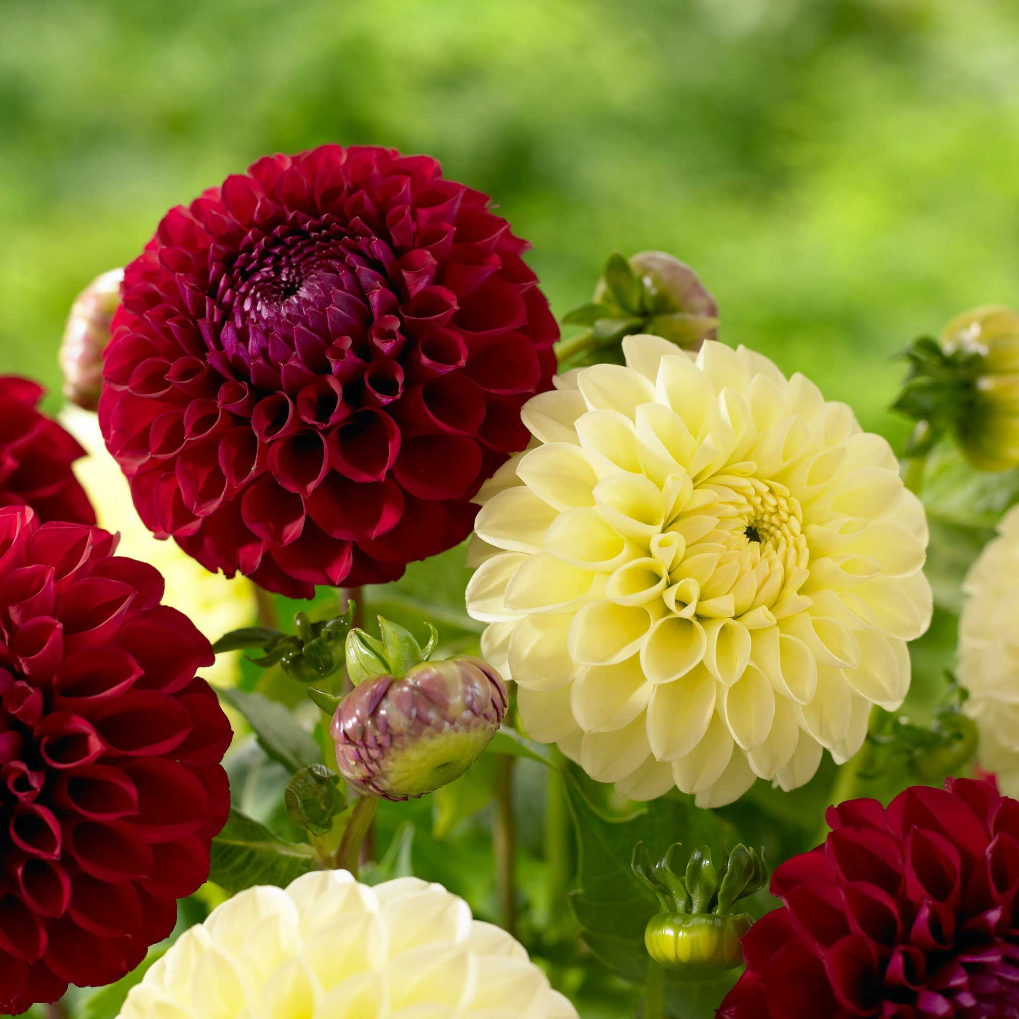 Know your dahlias flower styles and sizes dahlia dahlia flower know your dahlias flower styles and sizes longfield gardens izmirmasajfo Image collections