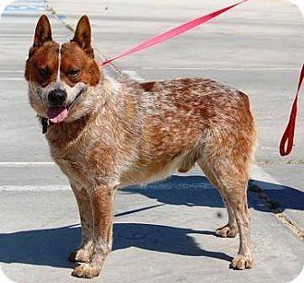 Bodega Ca Australian Cattle Dog Meet Bingo A Dog For Adoption Cattle Dog Australian Cattle Dog Pets