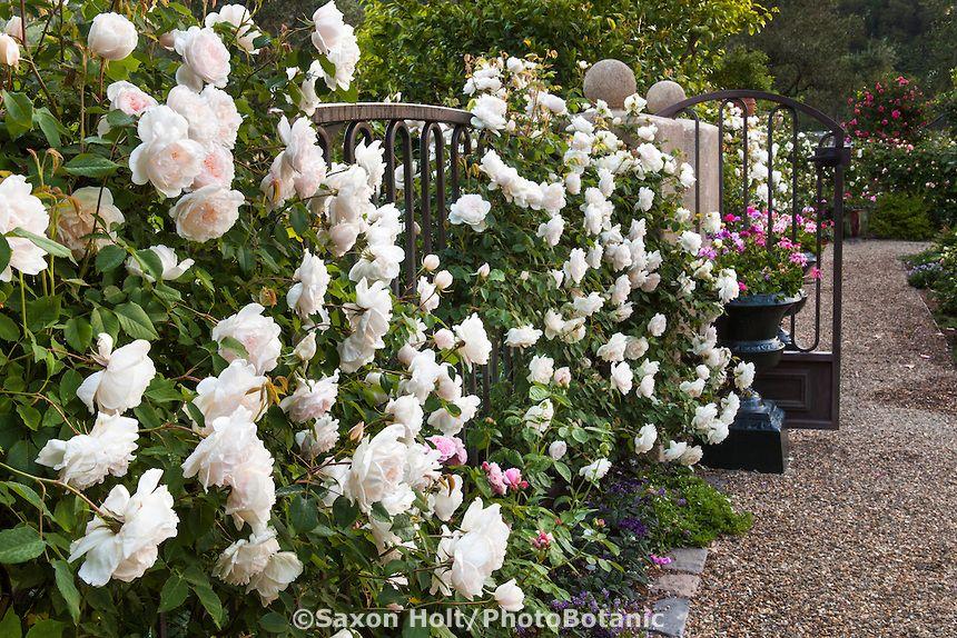 old garden rose rosa 39 madame alfred carriere 39 white. Black Bedroom Furniture Sets. Home Design Ideas