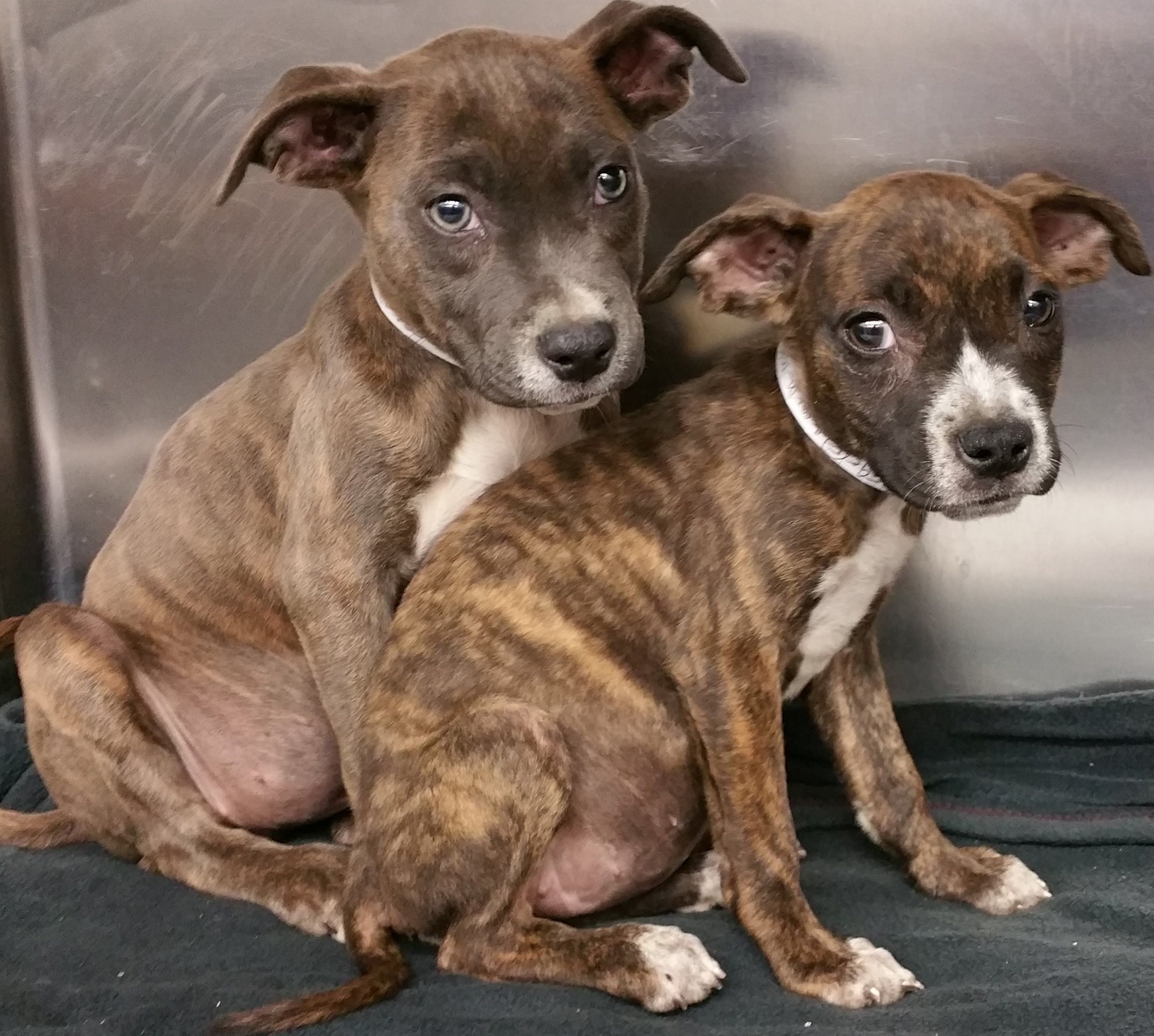 Pitbull Puppies 2 Female Stray Pitbull Puppies Get Adopted