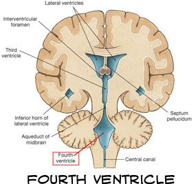 Coronal section of brain with ventricles diagram of the human brain coronal section of brain with ventricles diagram of the human brain ccuart Choice Image