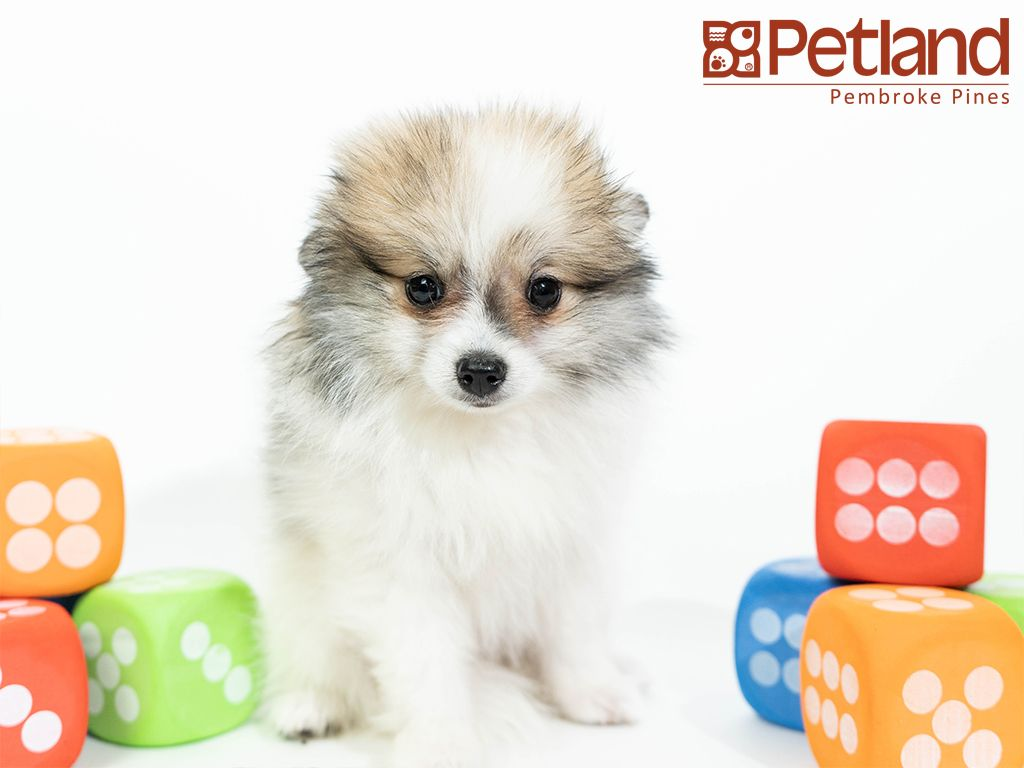 Petland Florida Has Pomeranian Puppies For Sale Interested In