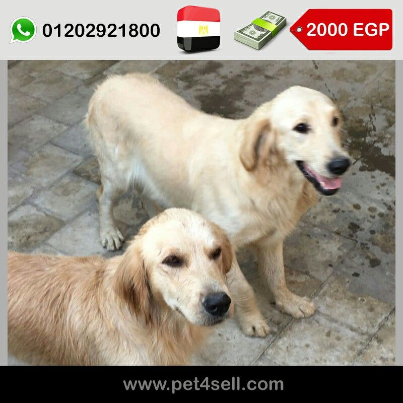 Egypt Cairo Male And Female Golden Retriever Puppies For Sale 3 Months Old Big Size And Pure Breed With Mot Female Golden Retriever Golden Retriever Puppies