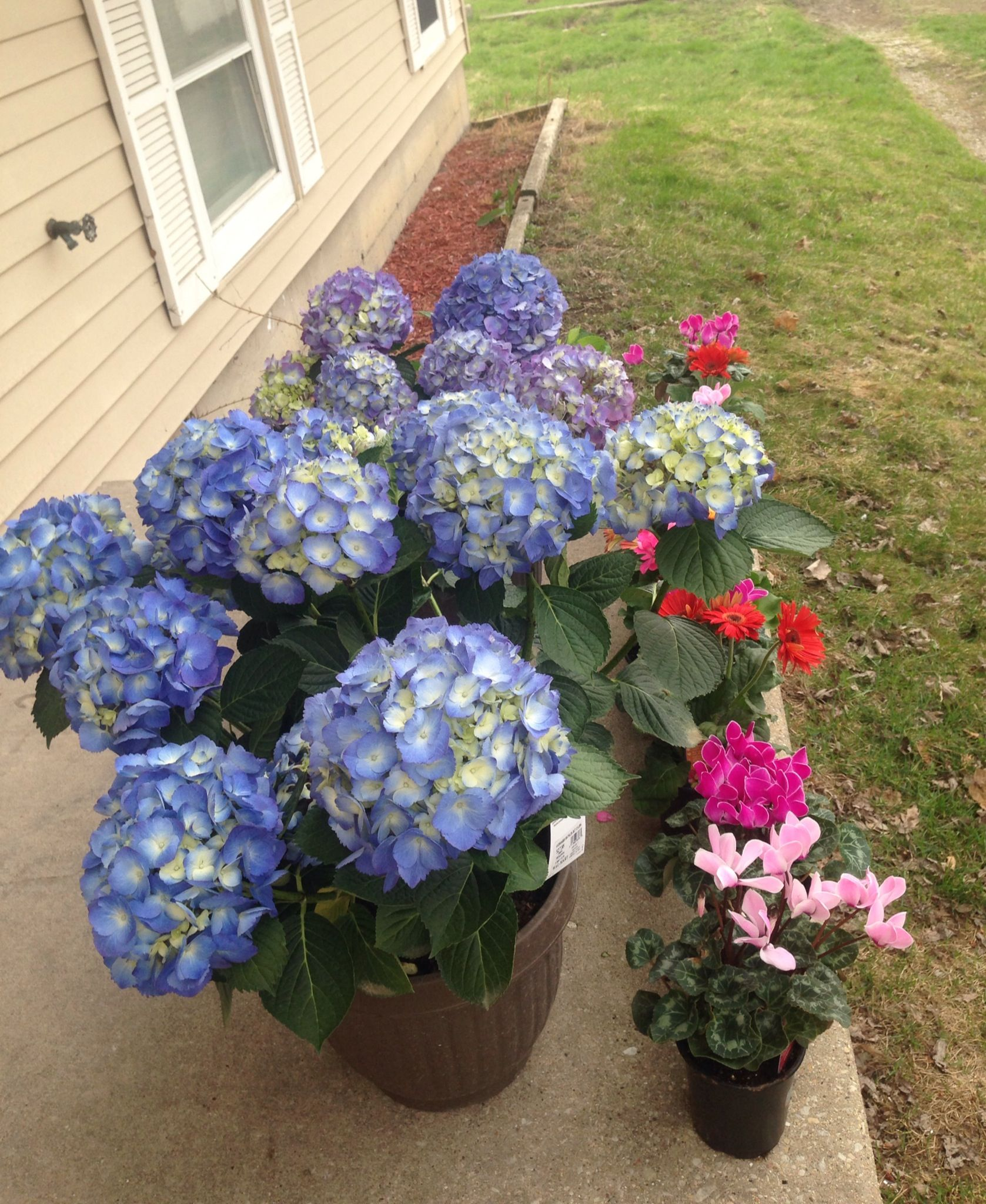 Let Us Plant Hydrangea Mathilda Gutges Cyclamen And Gerbera Daisies Fruit Garden Gerbera Daisy Hydrangea