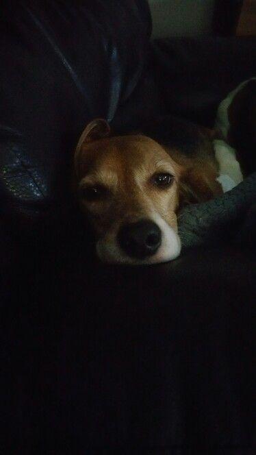 Our Sissy Our Beagles Wrigley Fenway Sissy Beagle Puppy
