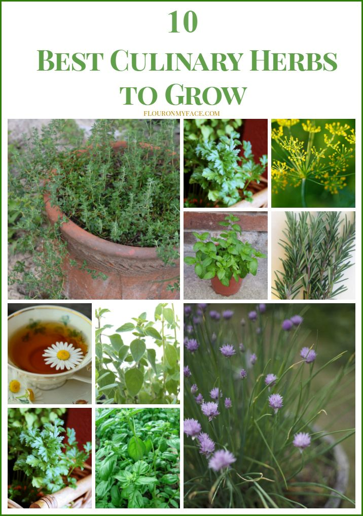 10 Best Culinary Herbs To Grow Use In Your Favorite Recipes At Home Plant A Few Pots Of So You Can Harvest Them When Need