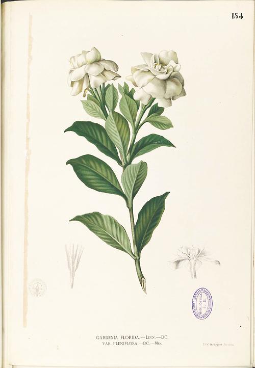 Gardenia Jasminoides 1880 1883 Plate From Flora De Filipinas
