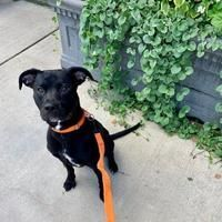 Morton Grove, IL - Labrador Retriever. Meet Ajax a Pet for Adoption. #mortongrove Morton Grove, IL - Labrador Retriever. Meet Ajax a Pet for Adoption. #mortongrove