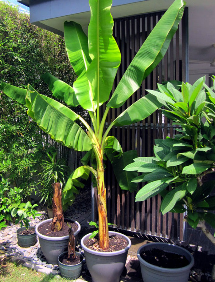 Growing Banana Tree In Containers How To Grow Banana Plant Musa Fruit Plants How To Grow Bananas Banana Plants