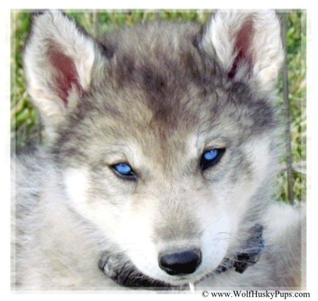 Siberian Husky Timber Wolf Cross Puppy In Utah Wolf Dog Puppy