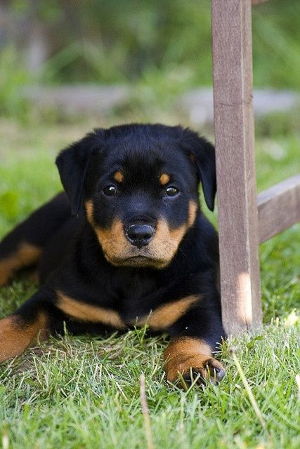 Rottweiler Puppy Looks Just Like My Baby When He Was A Puppy