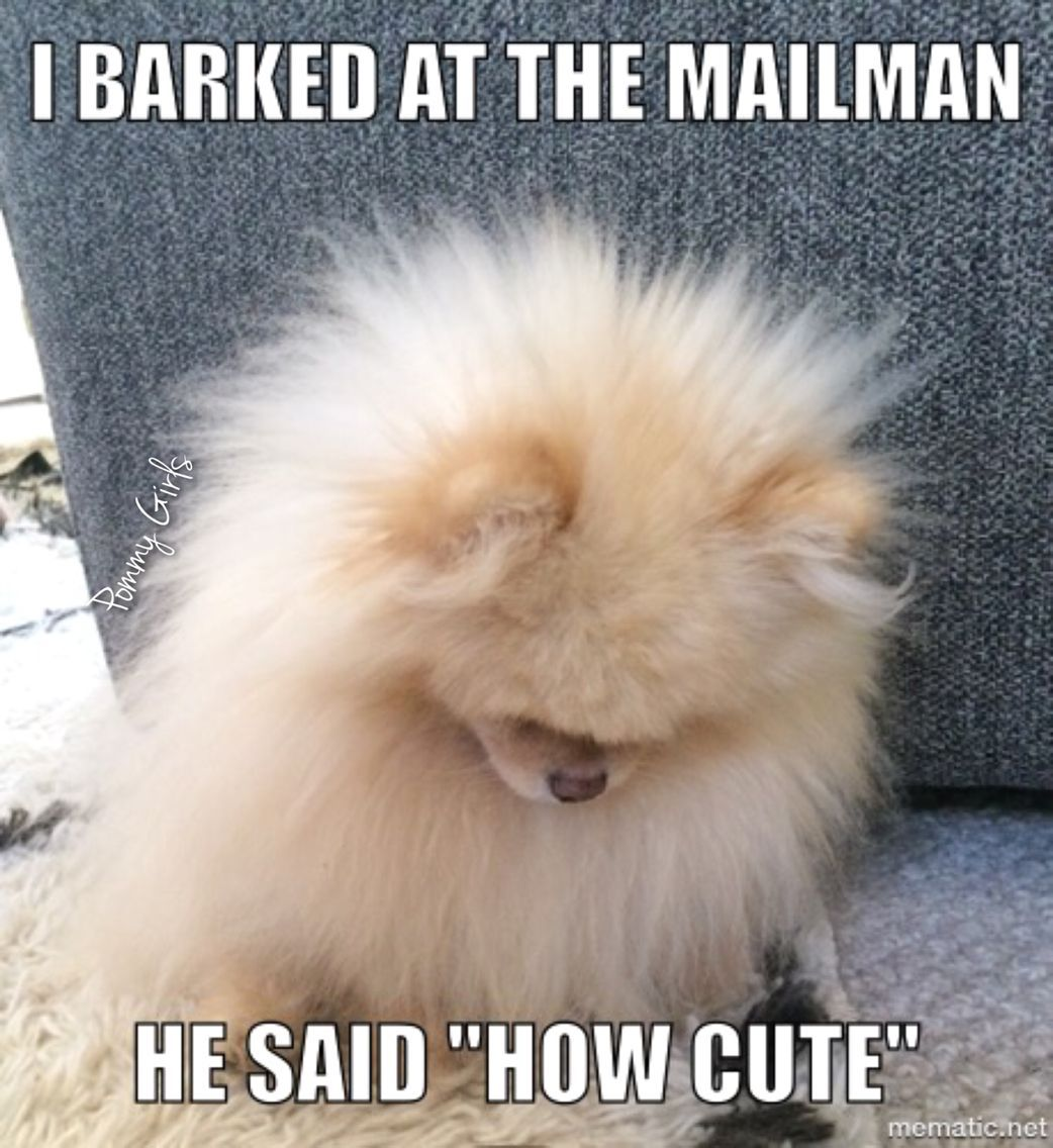 "I barked at the mailman .. he said ""How Cute"" Pomeranian"