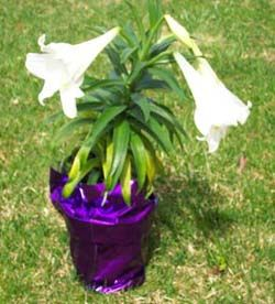 How To Grow Easter Lilies Didn T Know I Was Supposed Leave Them In