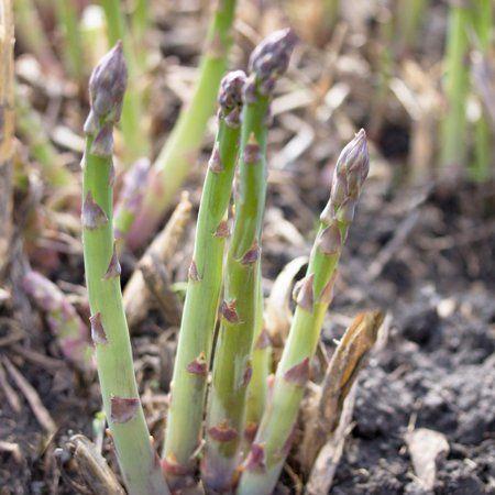 Patio Garden Asparagus Seeds