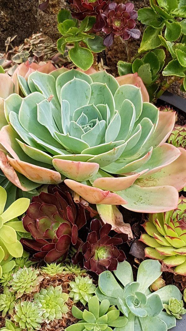 plantes grasses r aliser une composition de succulentes succulents plantes grasses plante. Black Bedroom Furniture Sets. Home Design Ideas