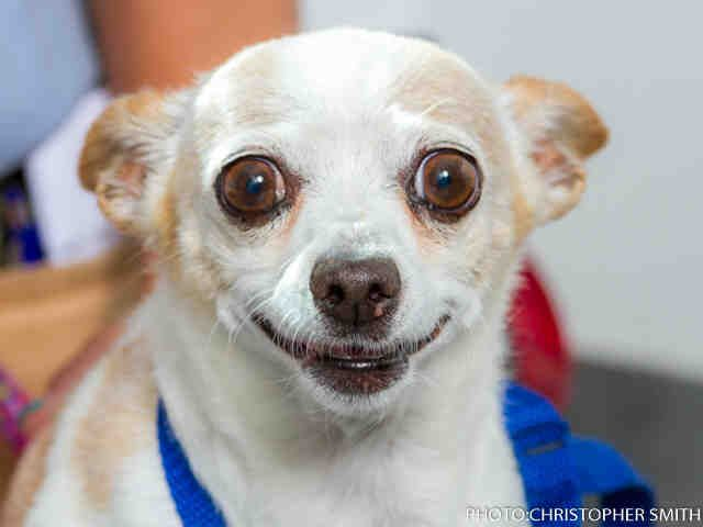 A1158865 Tamale Is A 9 Year Old Male Tan And White Long Haired