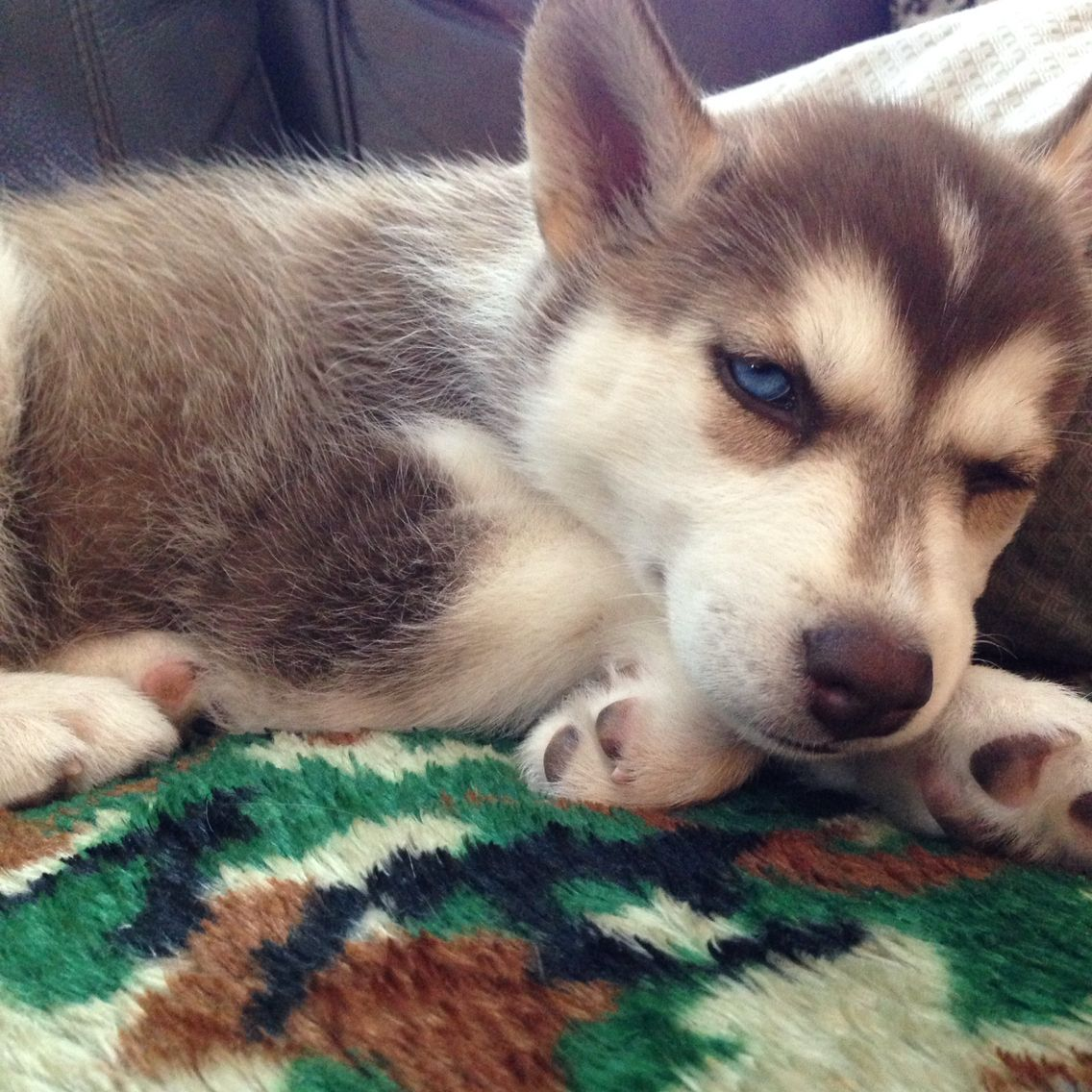 My Adorable Siberian Husky Pup P Baby Puppies Cute Animals