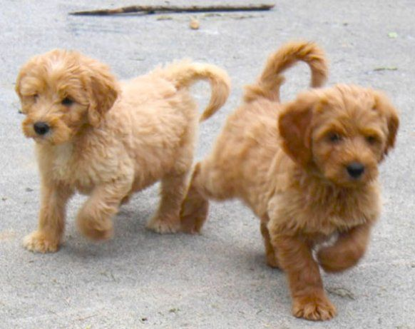 Blue Ridge Goldendoodles Goldendoodle Puppy For Sale