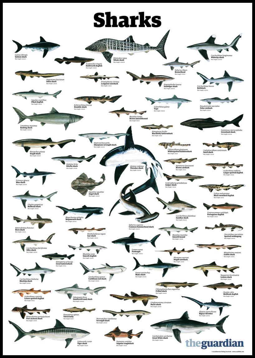 trynottodrown a few different shark species (full size