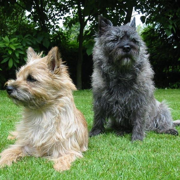 Hypoallergenic Dogs 28 Dogs That Don T Shed Terrier Breeds