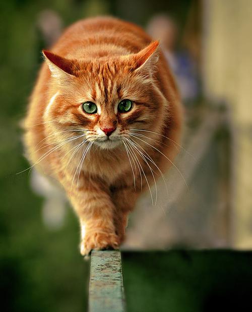 Love orange kitties!