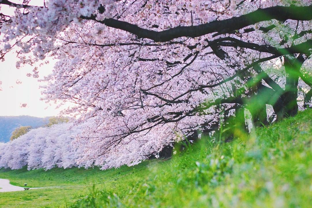 One Of The Most Famous Places In Japan To View Cherry Blossoms Is Located Very Close To Us Sewari Tei Is A Long Bank That Runs Between The Uji And Kizu Rivers