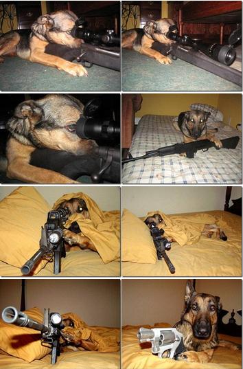 Evolution of a GSD guard dog.  haha!