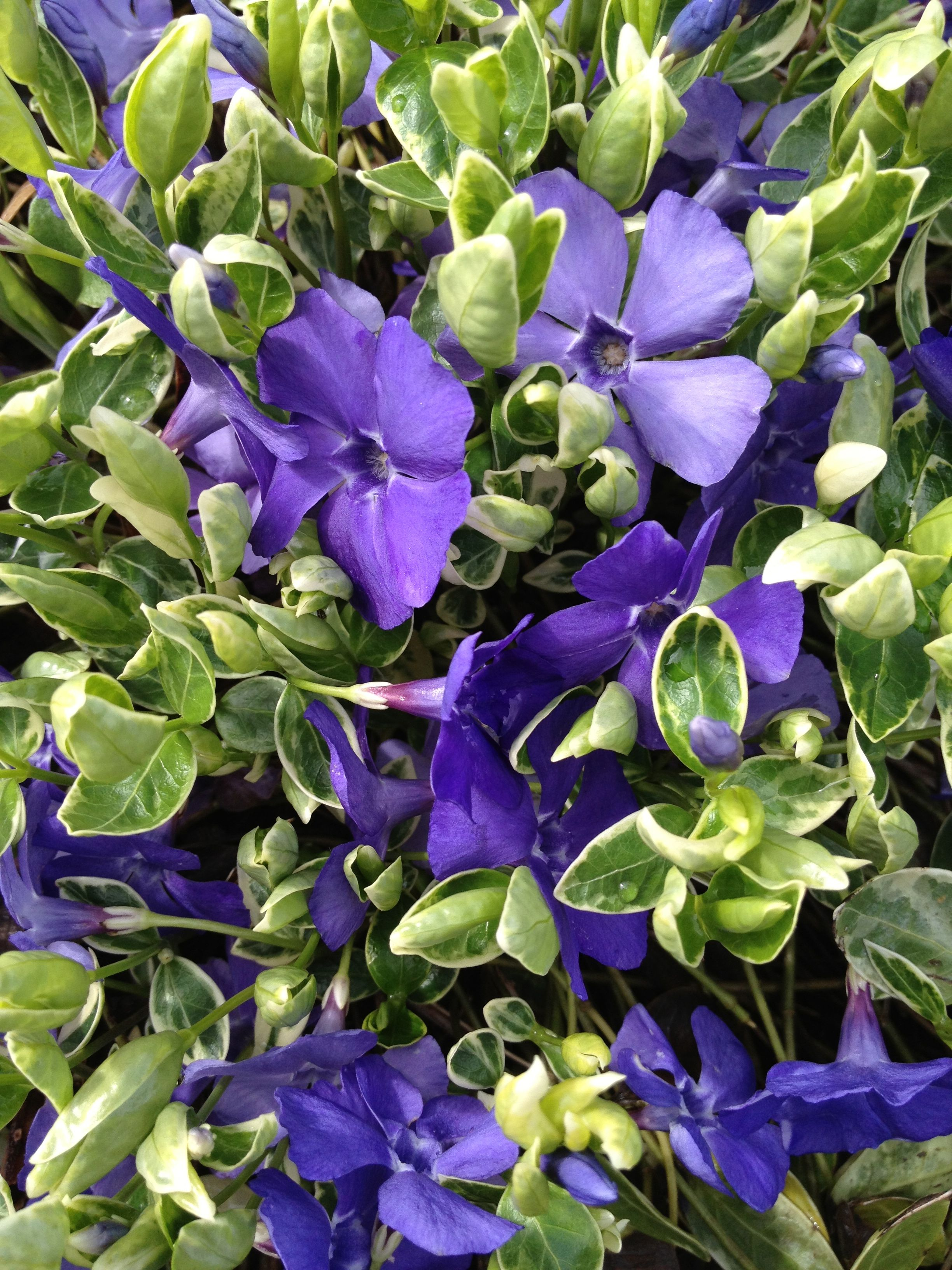 Periwinkle  An Evergreen Ground Cover With Long Lasting Bright Purple  Flowers With A Fairly Long