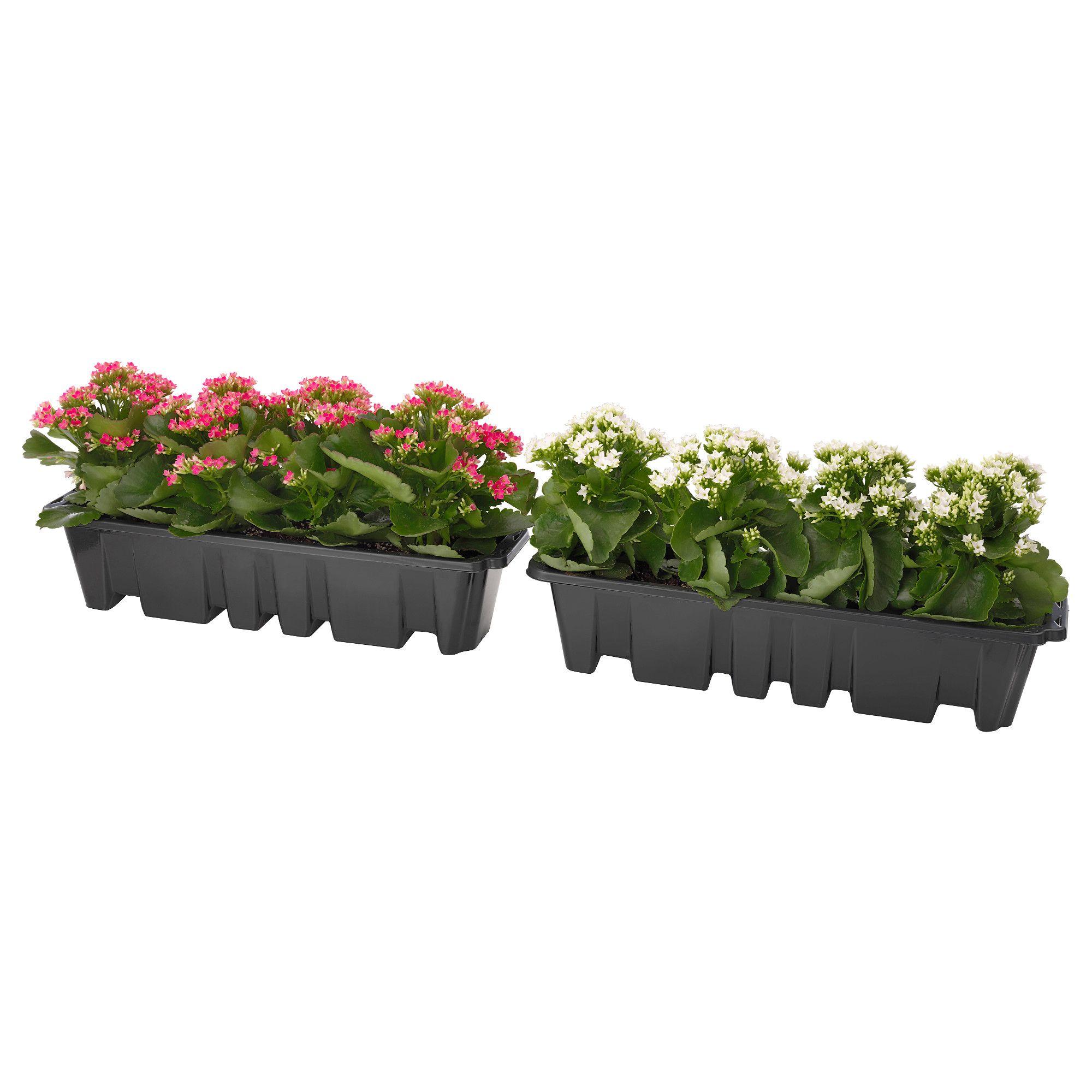 """V""""XTLIG Pflanzen für Balkonkasten Kalanchoe Jetzt bestellen"""