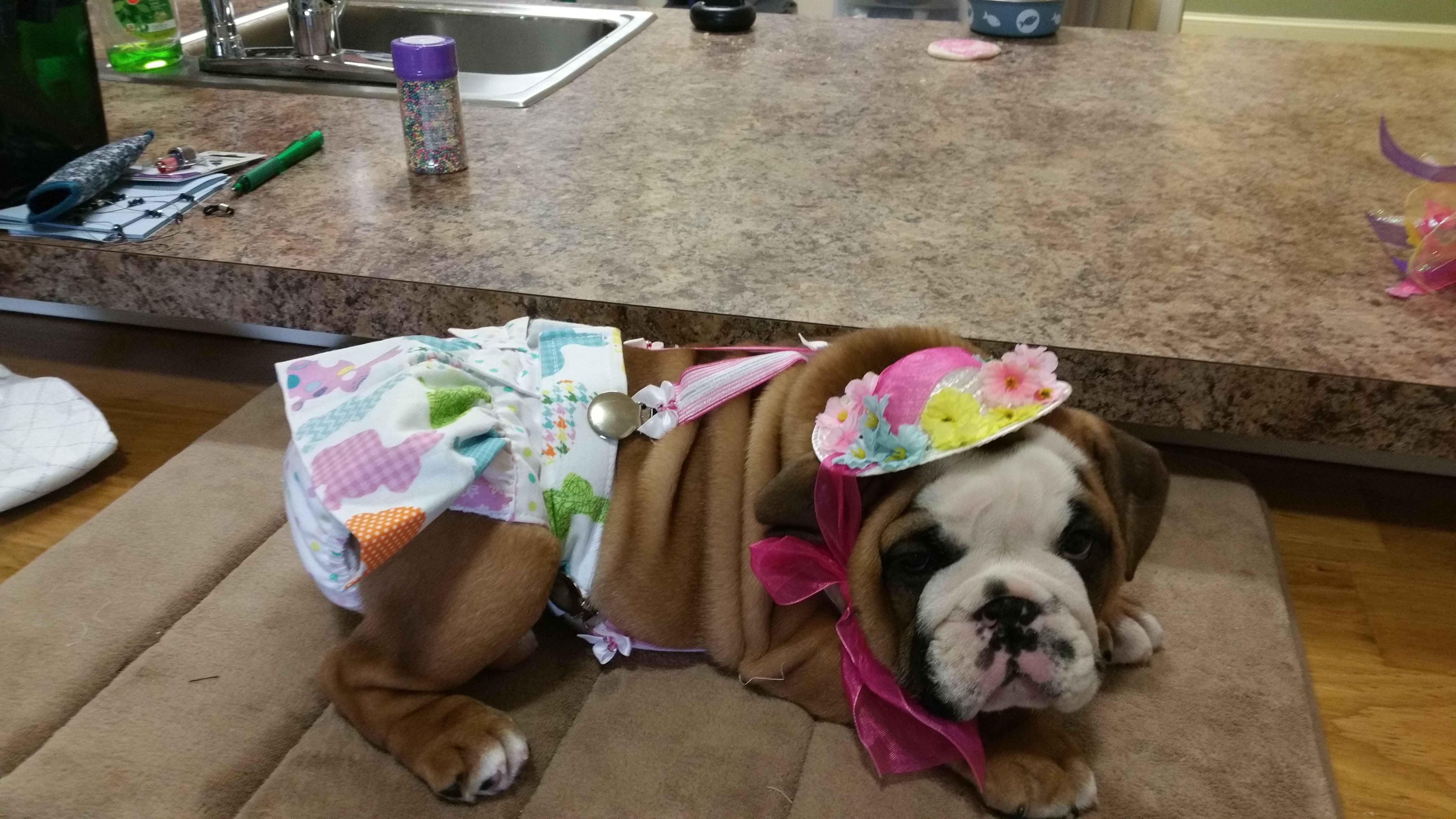 Cute Baby Bulldog Wearing A Diaper Skirt From Piddler On The Woof