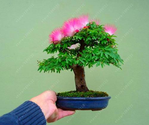 10 Pcs Bag Bonsai Albizia Julibrissin Beautiful Flower Acacia Seeds Like A Genius Acacia Wood Flower Seeds Home G Bonsai Flower Indoor Bonsai Tree Flower Seeds
