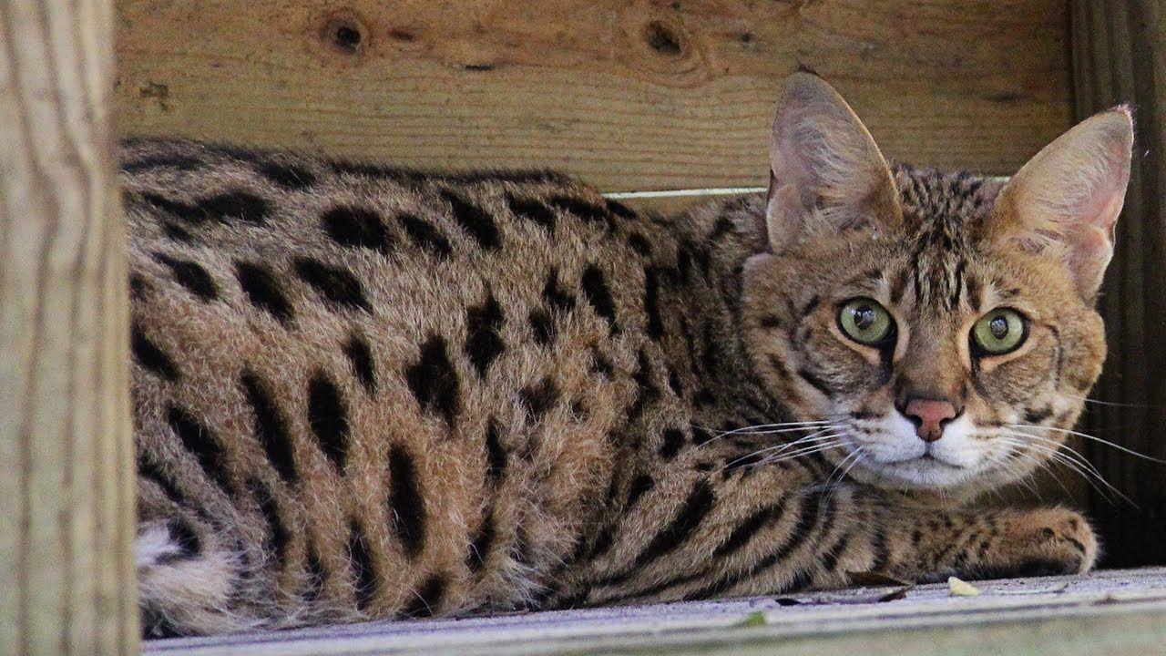 Talking Savannah Cat Savannah Cat Big Cat Rescue Savannah Chat