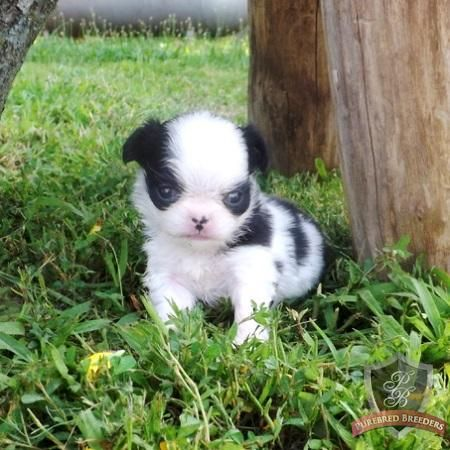 Japanese Chin Puppy Jag He Looks So Mad That S His Angry
