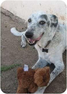 Gilbert Az Catahoula Leopard Dog Mix Meet Susie A Dog For