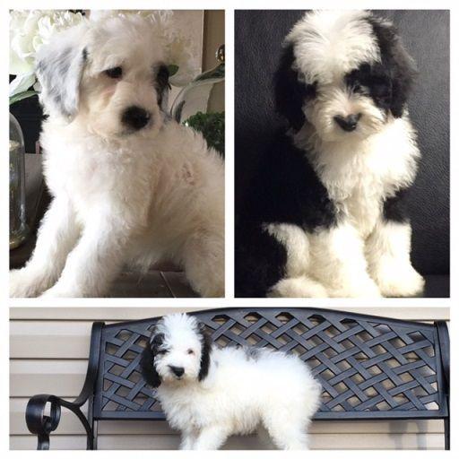 Micro Sheepadoodles | Adorable Pets | Sheepadoodle puppy