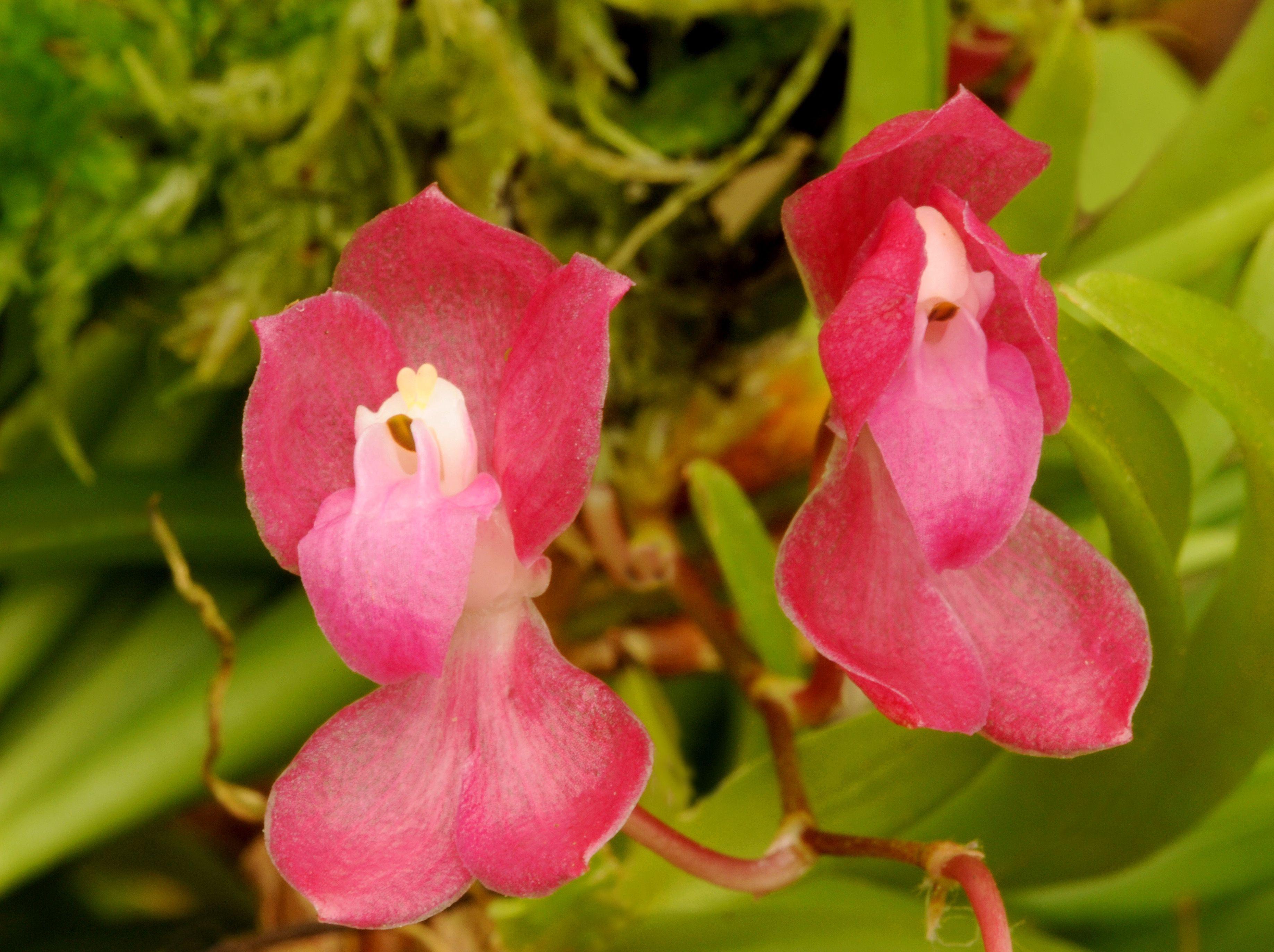 Cochlioda sanquinea | Orchid Flowers: Their Colors, Beauty ...