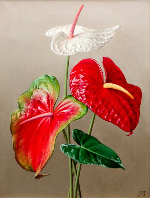 Anthurium Is A Genus Of About 1000 Species Of Flowering Plants The Largest Genus Of The Arum Family Aracea Indoor Flowering Plants Anthurium Plant Anthurium