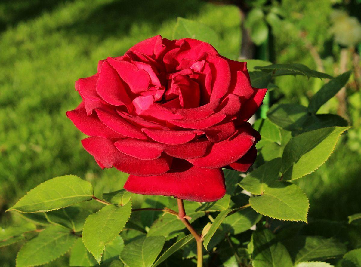 Royal William Rose Wikipedia Flower Show Chelsea Flower Show Rose