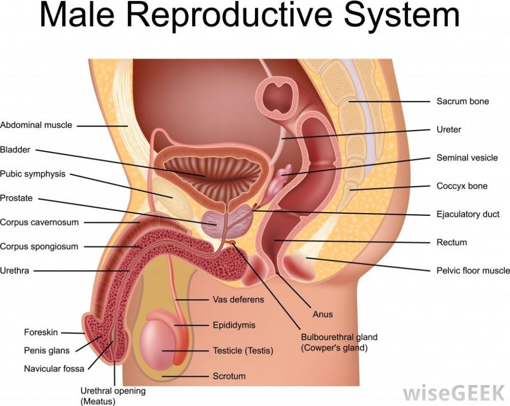 medium resolution of male groin diagram wiring diagram sys male groin muscle diagram groin bones diagram wiring diagram expert