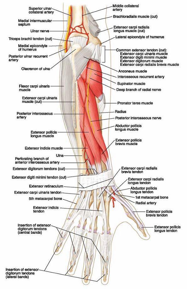 Ovid: Lippincott Williams & Wilkins Atlas of Anatomy   SDP Anatomy ...