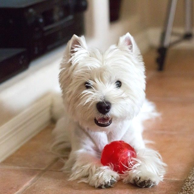 Pin by dog_love on westie Westie dogs, Westies, Westie