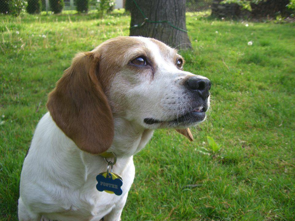 Pin By Kim Brooks On Beagles To Adopt Beagle Labrador Retriever
